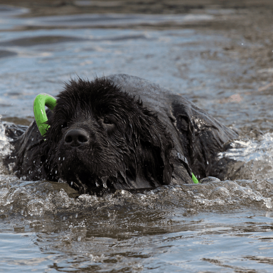 a newfoundland swimming in a lake