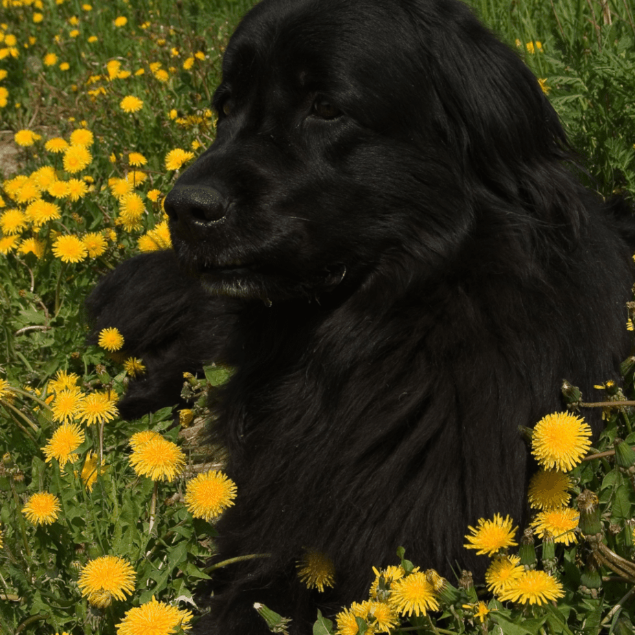 newfoundlands in a field of yellow daisies